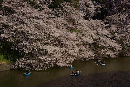 Chidorigafuchi: Sakura 007