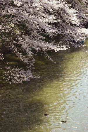 Chidorigafuchi: sakura 005
