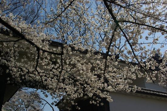 Chidorigafuchi: Sakura in front of budo-kan