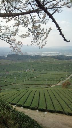 Yame Chuo Tea Garden: 桜との競演