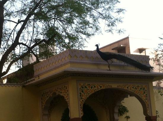 Hotel Anuraag Villa: Pfauen im Garten
