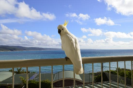 Ocean Lodge Motel & Apartments: Cockatoo on our balcony and the amazing ocean view