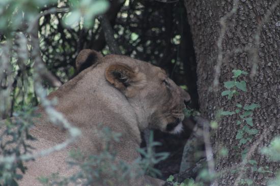 Bush Lodge - Amakhala Game Reserve : Lioness with a kill