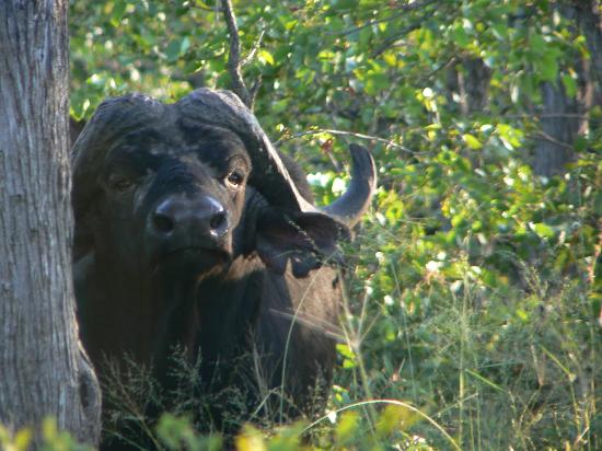 Motswari Private Game Reserve: Buffalo male
