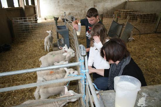 Come to Good Farm: feeding lambs in the barn