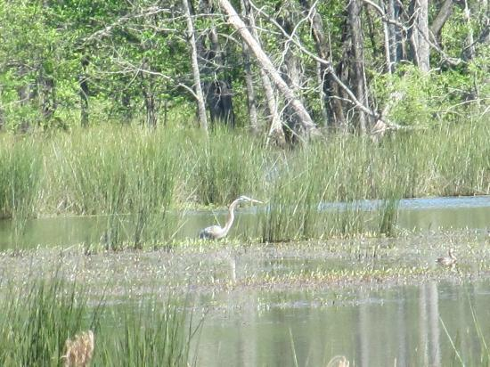 Pee Dee National Wildlife Refuge: Heron on the lake