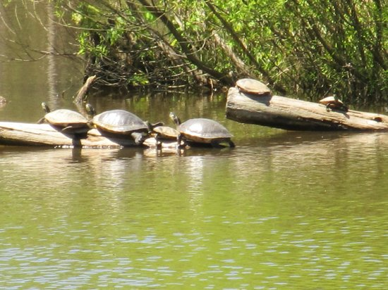 ‪‪Pee Dee National Wildlife Refuge‬: Turtles in the pond‬