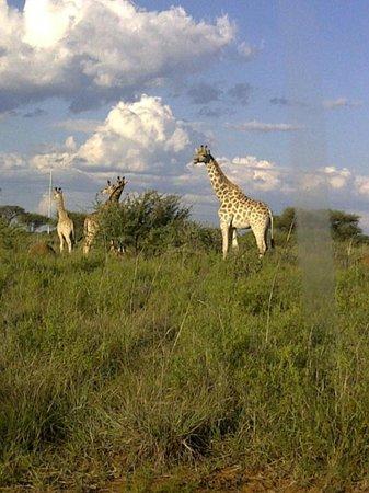 Mafikeng, South Africa: Giraffes