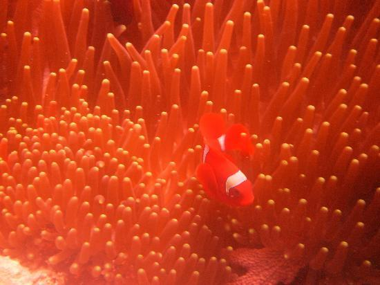 Bunaken Cha Cha Nature Resort: Tomato anemone fish (clown fish)