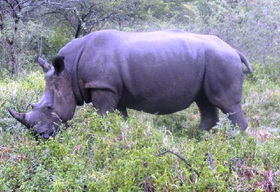 Thula Thula Exclusive Private Game Reserve and Safari Lodge: rhino