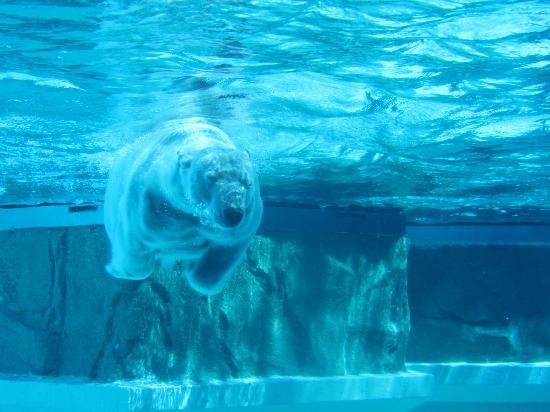 Polar Bear at Lincoln Park Zoo