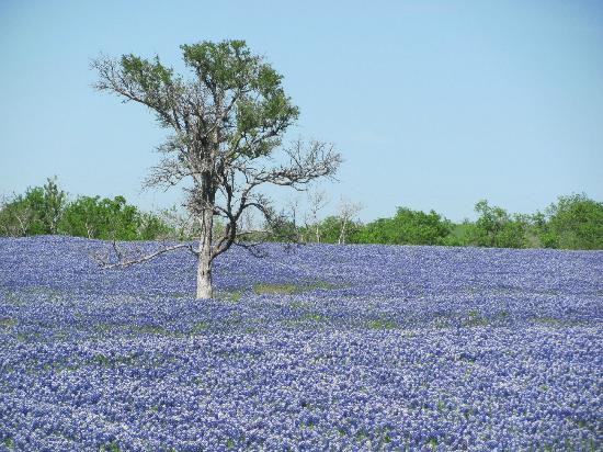 Ennis, Техас: Beautiful Bluebonnets