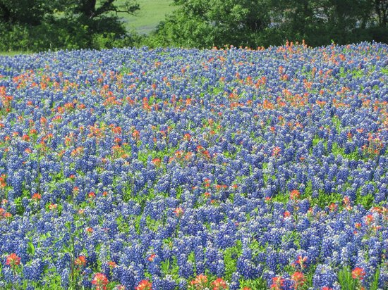 Ennis, Техас: Bluebonnets and Indian Paintbrushes