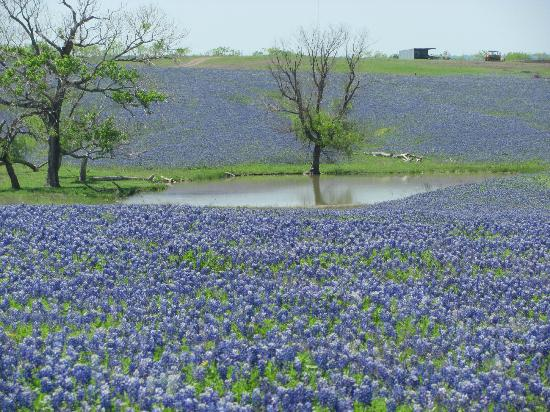 Ennis, TX: Close up of a pond on the 100 acre field on Mach Road.