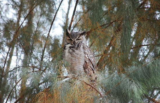 The Campbell House: Great Horned Owl