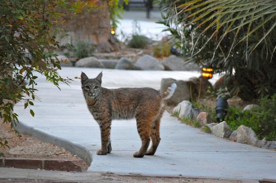 Campbell House: Bobcat