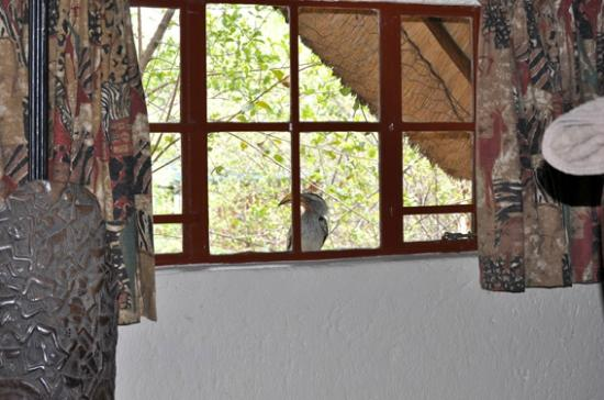 Royale Marlothi Safari Lodge : Freundlicher Weckdienst durch einen Yellow Horned-Hornbill