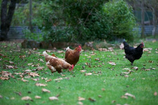Secrets Hideaway: Friendly resident free-range chickens
