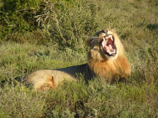 Kwandwe Great Fish River Lodge: a lion yawning