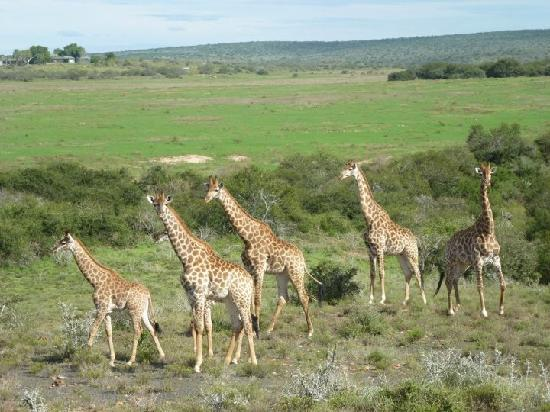 Kwandwe Great Fish River Lodge: Giraffes