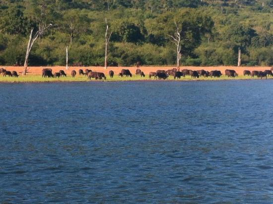 Bumi Hills Safari Lodge & Spa: Buffalo on the shore below the hotel taken while fishing
