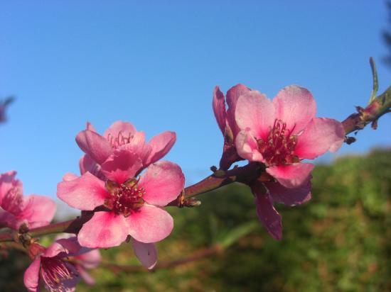 Domaine de Montizeau Moncay : fleurs de pêcher de vigne