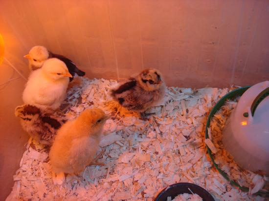 Greenmeadow Community Farm: Baby chicks