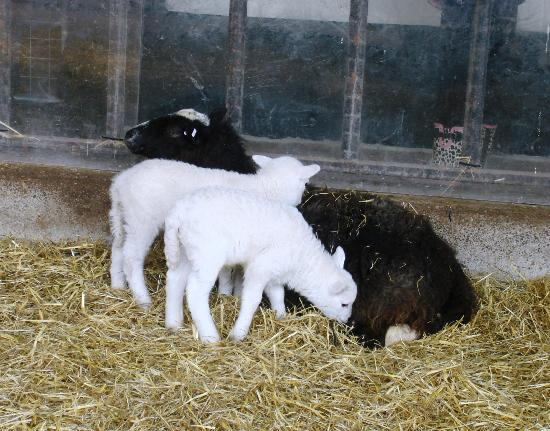 Greenmeadow Community Farm: Baby lambs