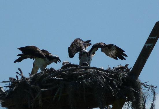 Randell Research Center: Osprey