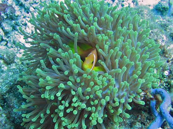 Bathala Island Resort: Anenome fish