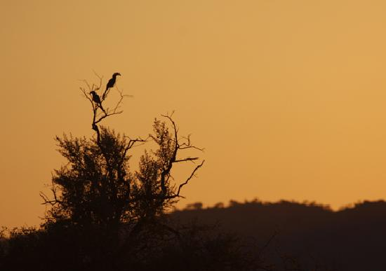 Impodimo Game Lodge: Hornbill in the sunset