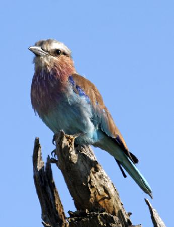 Impodimo Game Lodge: Lilac breasted roller