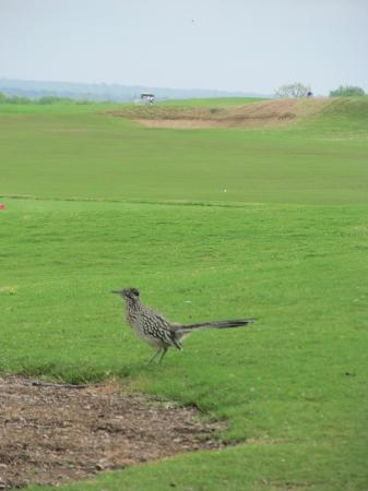 Wolfdancer Golf Club: Roadrunner checking out the course