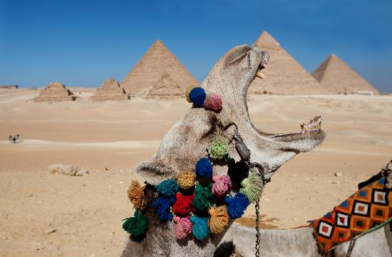 Pyramids of Giza: A bored camel at Giza