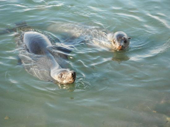 Great South West Walk: Interested seals in Portland