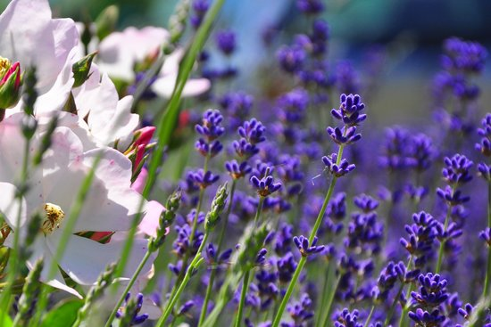 Hartland, UK: The lavender garden