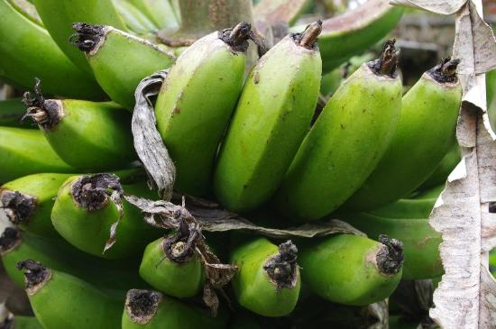 Finca Lindos Ojos: Bananas not from the supermarket