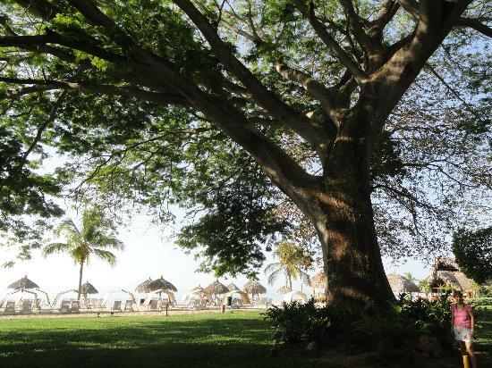 Royal Decameron Beach Resort, Golf & Casino : UN Corotu arbre de 160 ans le plus belle arbre que j'ai vu de ma vie sur le site