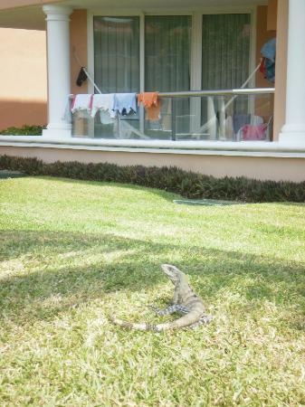 Moon Palace Cancun: Iguana outside balcony