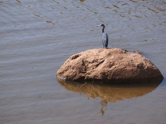 Hotel Vista Lago Ecoresort: Blue Heron as seen from the dining area.