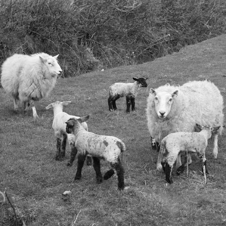 Lambing time in Belmullet...