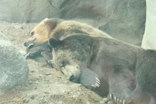 Minnesota Zoo: Sleeping Bears