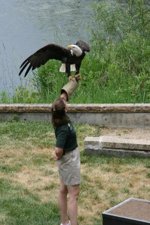 Minnesota Zoo: Raptor Show