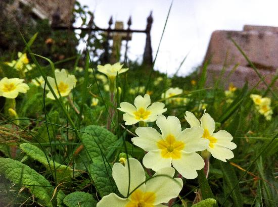 The Crow's Nest: primroses in the church yard