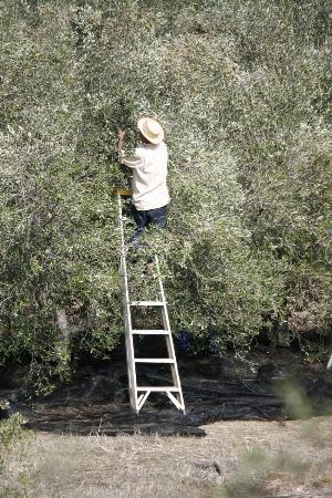 Porcupine Hills Guestfarm: olive pickers