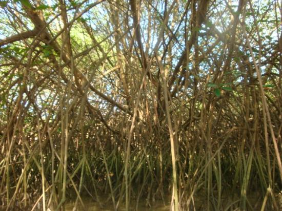 Casa Grande: Mangrove expedition