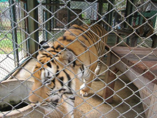 Tiger Kingdom: Caged like an animal