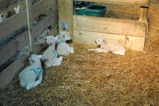 Bolton, UK: easter lambs