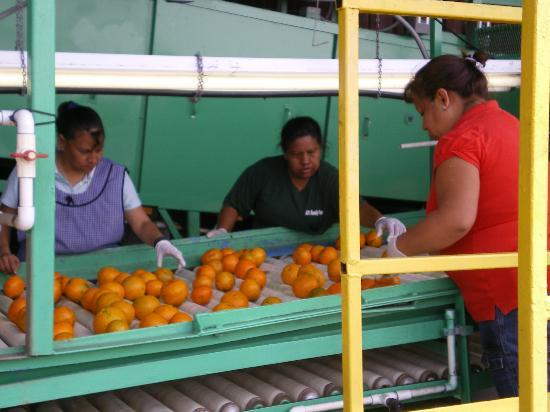 ‪‪Al's Family Farms‬: Sorters inspect the fruit.‬