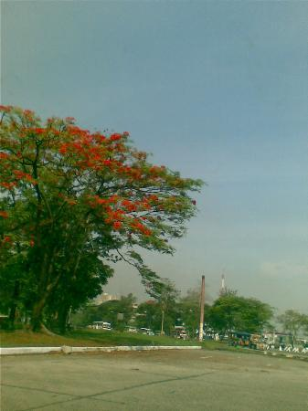 University of the Philippines: Fire Tree